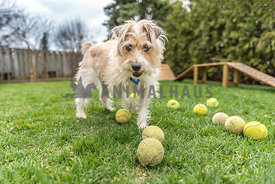 Jack Russell Terrier on his own agility course with all his tennis balls