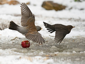 Fieldfare Turdus pilaris fighting with Blackbird Turdus merula over food in garden in freezing weather with snow on the groun...