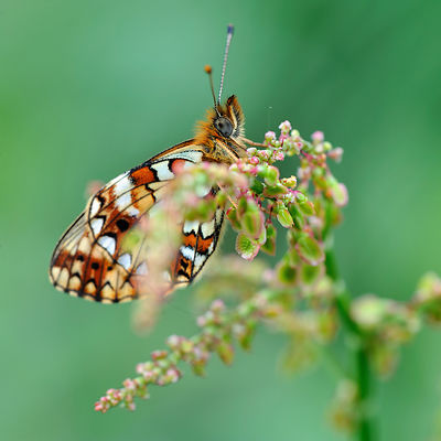 Petit collier argenté - Small pearl-bordered fritillary (Clossiana selene)