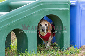 A senior beagle under a plastic playground