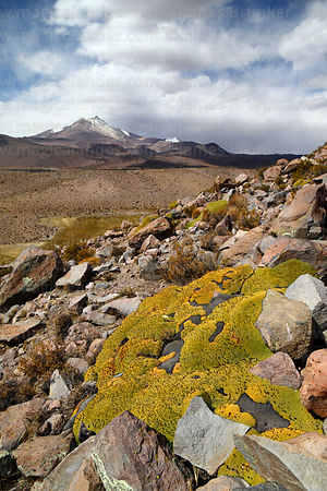 Yareta plant (Azorella compacta), Guallatiri volcano in background, Las Vicuñas National Reserve, Region XV, Chile