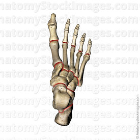 foot-bones-joints-metatarsal-metatarsus-phalange-cuneiform-navicular-cuboid-talus-calcaneus-top-view-above