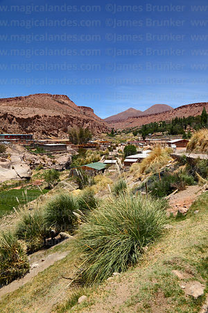 View over oasis village of Caspana and Cortaderia selloana pampas grass, Region II, Chile