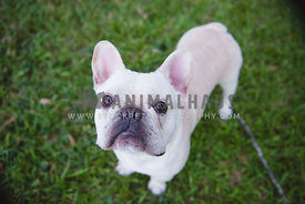 White French bulldog on grass  looking up