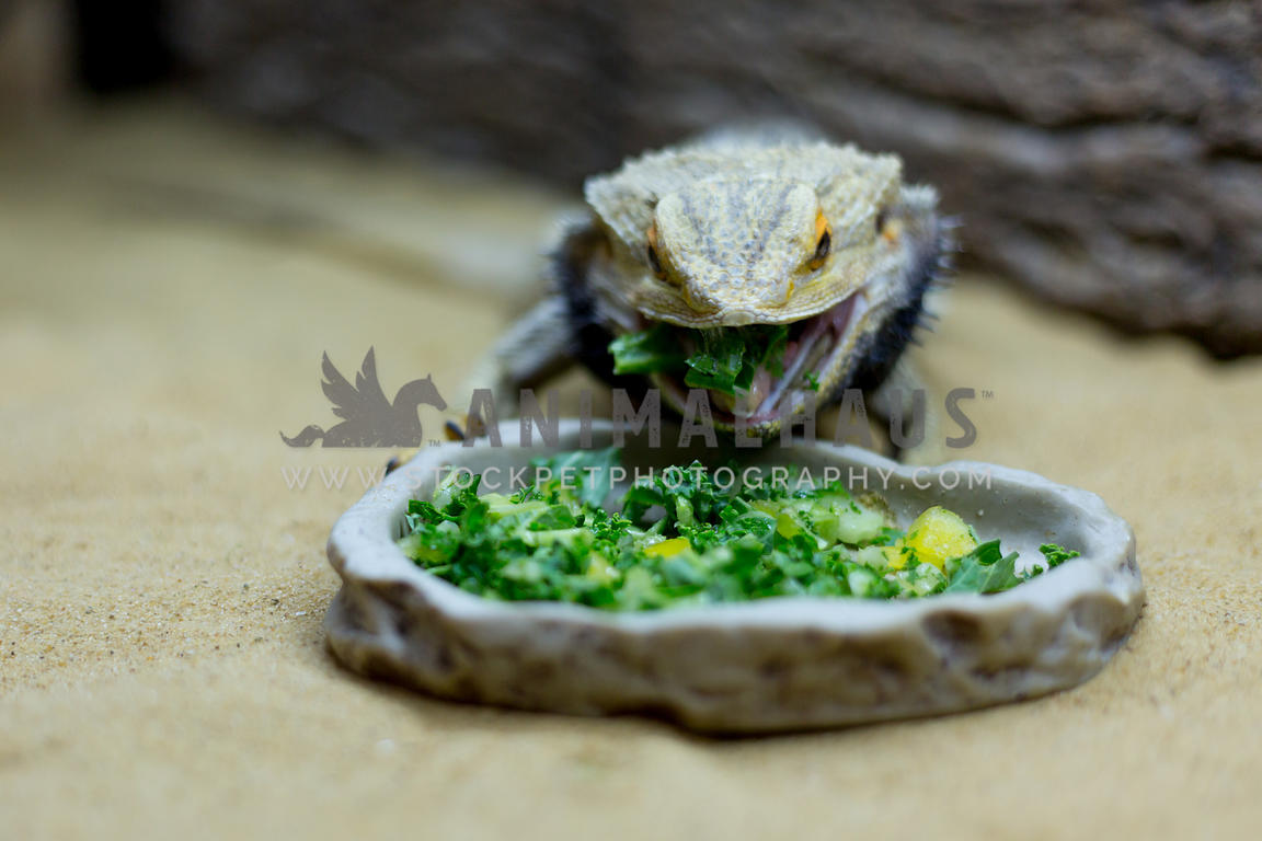 bearded dragon eating greens out of shallow bowl, mouth open