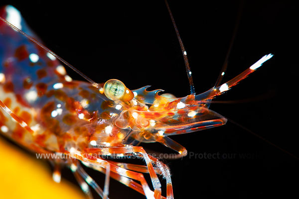 Anton Bruun cleaner shrimp