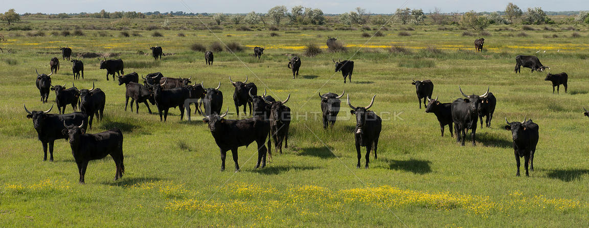 Herd of Camargue bulls, Camargue, France, May.