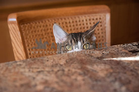 tabby cat eyes peeking over kitchen counter table