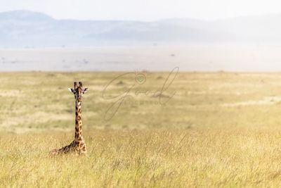 Single Masai Giraffe Lying in Africa Grasslands