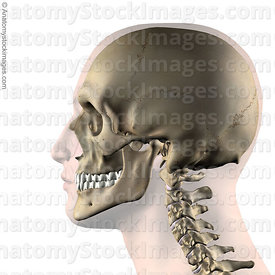 head-skull-jaw-side-skin