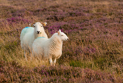 Pair of sheep in heather