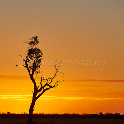Single old tree silhouetted against orange sunset. Pooncarie. Australia
