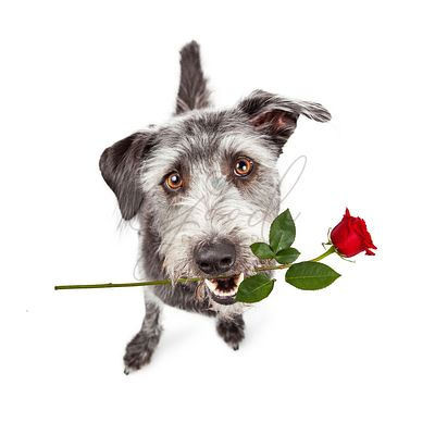 Happy Dog Carrying Red Rose