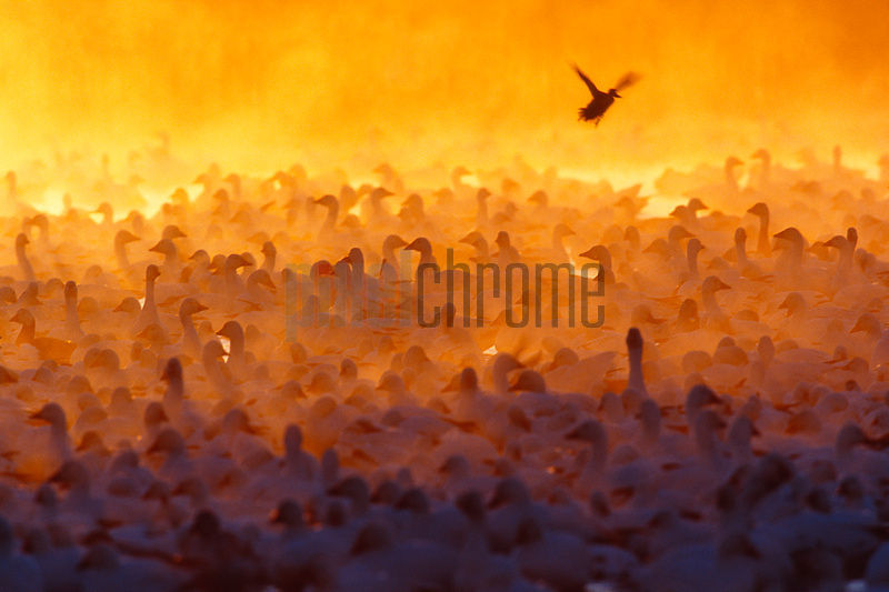Duck landing among flock of snow geese at dawn