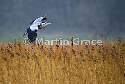 Grey Heron (Ardea cinerea) in flight, Leighton Moss, Lancashire, England
