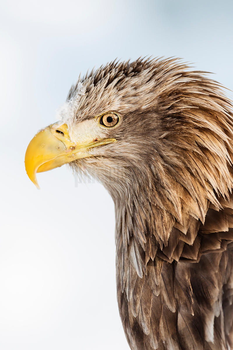 Portrait of a White Tailed Eagle