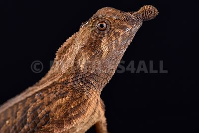 Leaf-nosed lizard (Ceratophora tennentii)