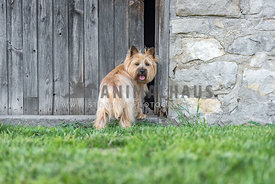 Cairn Terrier looks over shoulder in front of hole in wooden barn door
