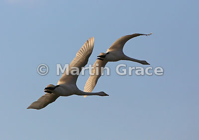 Two Whooper Swans (Cygnus cygnus) in flight, Lancashire, England