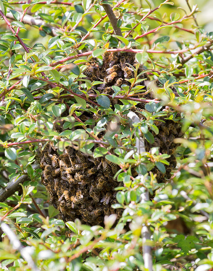 Bee swarm clustered in cotoneaster