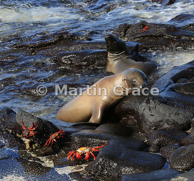 Two Galapagos Sea Lion pups (Zalophus californianus wollebacki or wollebaeki) on the shore at Sombrero Chino, Galapagos Islands