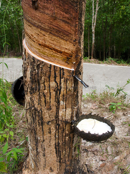 Latex being collected from a para rubber tree