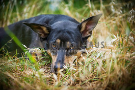 Kelpie Border Collie Cross lying in dry grass