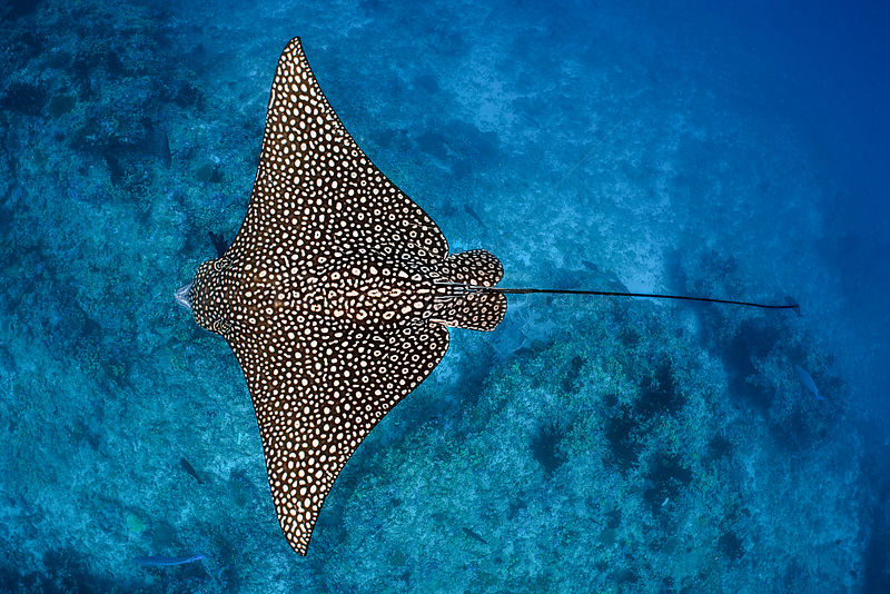 Spotted eagle ray (Aetobatus narinari) female swimming over coral reef. South Male Atoll, Maldives. Indian Ocean.