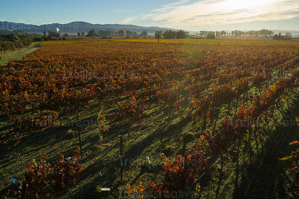 Grape leaves changing fall colors in Napa vineyard.