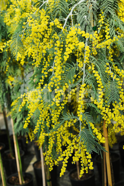 Photo De Acacia Dealbata Pendula Detail Fleurs Fotoflor Grand