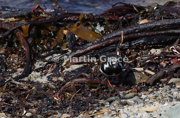 Perfectly camouflaged Male Ruddy Turnstone (Arenaria interpres) in breeding plumage foraging among the detritus on the shorel...