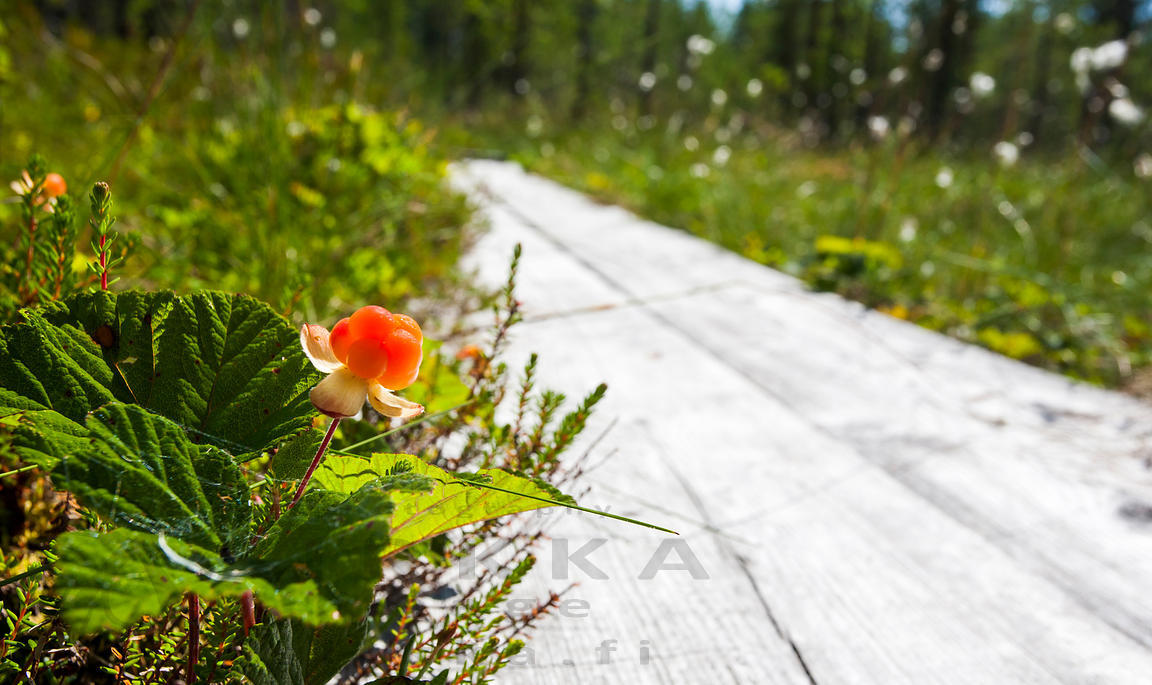 Cloudberry Growing Next to Duckboards