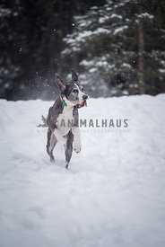 Grey and white Dane running with ears flapping