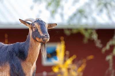San Clemente Goat on Farm