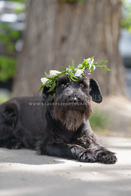 Mini Schnauzer With Floral Crown
