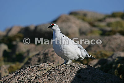 Rock Ptarmigan male (Lagopus muta) in winter plumage, February 13, Cairngorm, Scottish Highlands