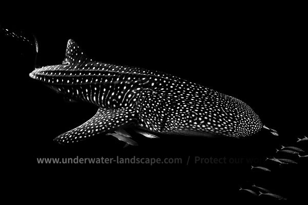 Black and white : Whale shark