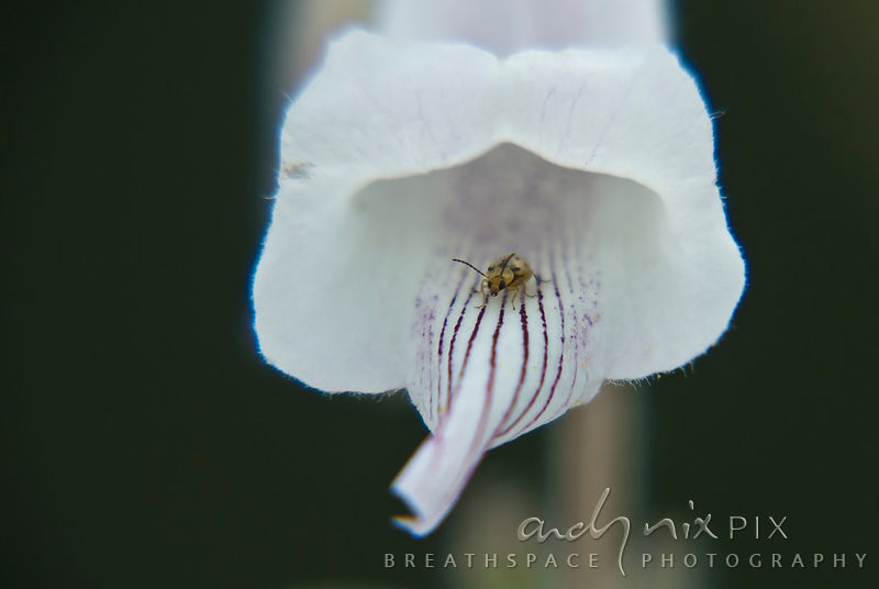 A tiny beetle inside a white flower with purple stripes.