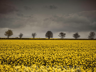 Landscape with rapeseed field and trees