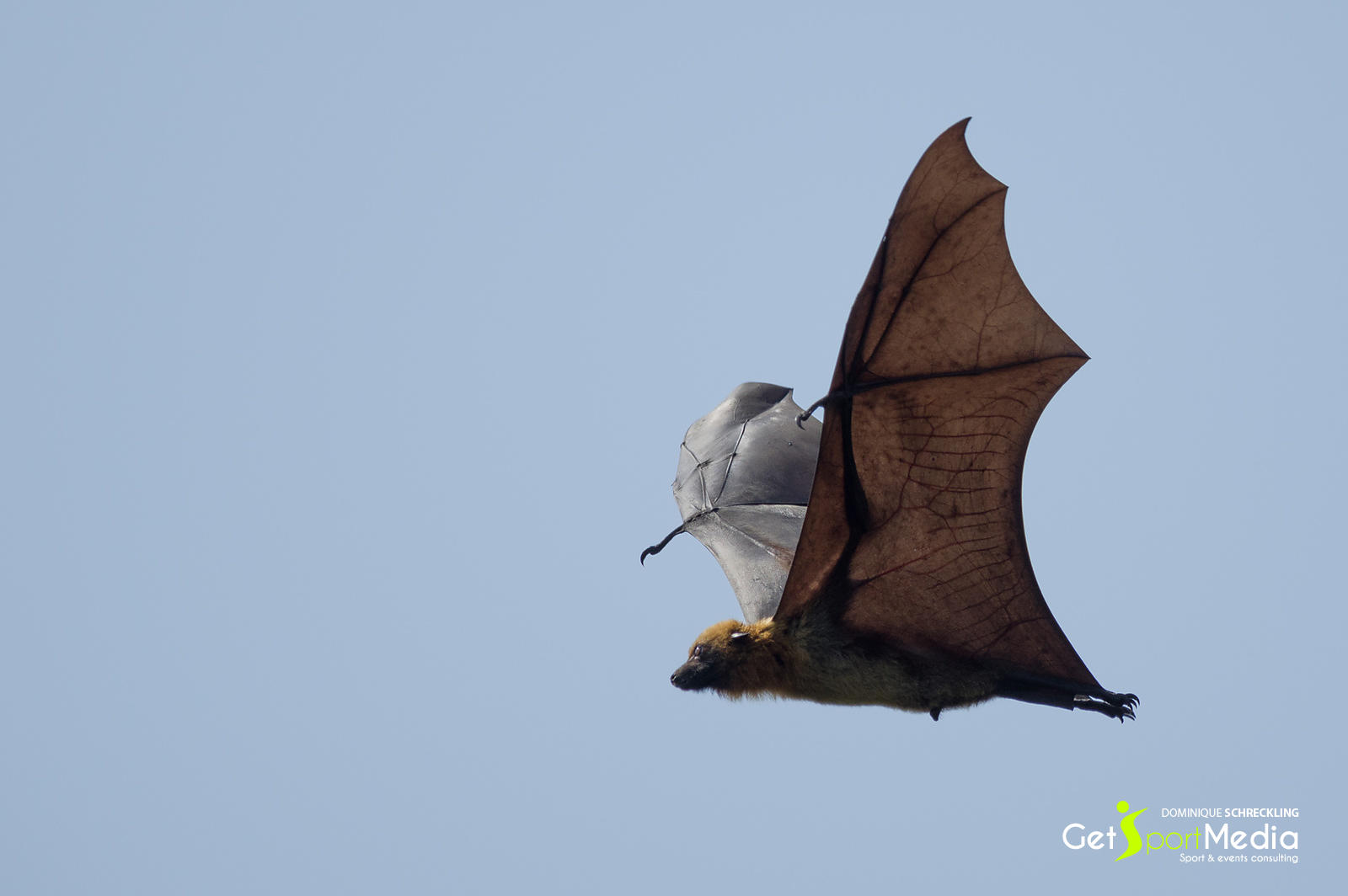 Madagascar flying fox