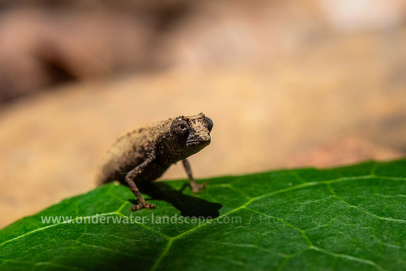 The smallest chameleon in the world