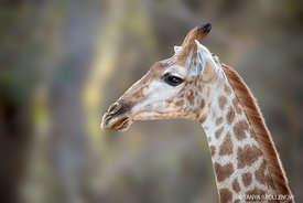 Giraffe, KNP, South Africa