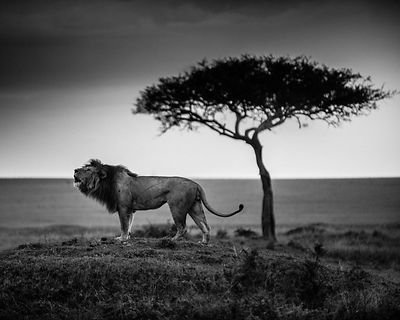 7021-Lion-The_strong_male_is_calling_its_clan_Kenya_2013_Laurent_Baheux