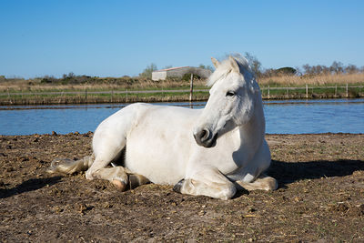 Cheval camargue couché, Saintes-maries-de-la-mer, France / Camargue horse lying, Saintes-maries-de-la-mer, France