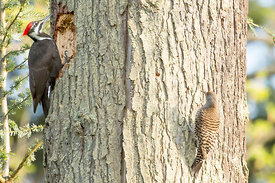 April - Pileated Woodpecker and Northern Flicker (both female)