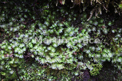 Liverwort, Valdivian Temperate Forest, Los Lagos, Chile