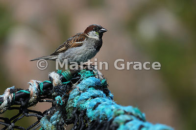 Male House Sparrow (Passer domesticus) perching on a lobster pot,  Fionnphort, Isle of Mull, Scotland