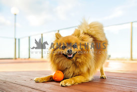 Happy Pomeranian in a play bow on a wooden deck with an orange ball