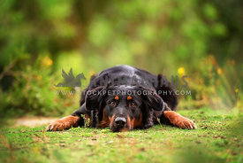 english shepherd dog laying on the ground