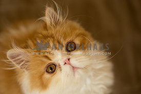 Persian cat kitten tilting head upwards towards camera